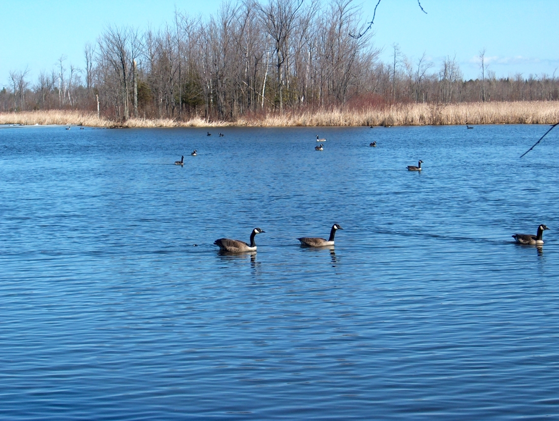 Canada Geese Group