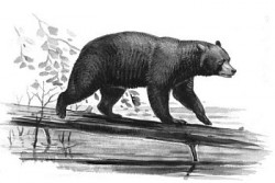 Bear - ready to harvest