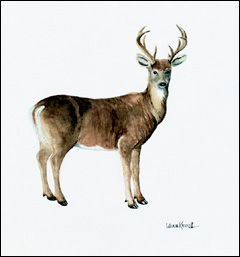 Adirondack White Tail Deer