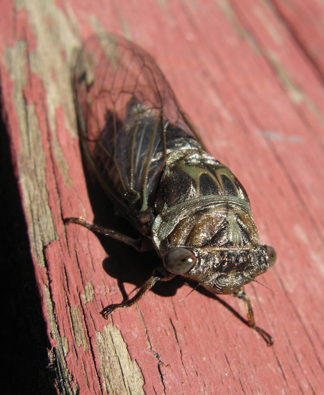 Big Adirondack Bug 2