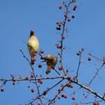 Cedar Waxwing - Bombycilla cedrorum