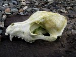 dog-skull