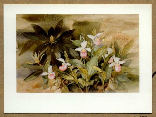 """Showy Lady's Slippers"" by Dicki T. Jenkins of Tupper Lake, New York"