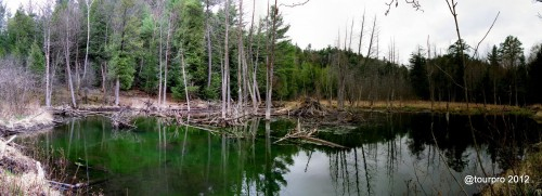 Wickham Marsh - Beaver Dam