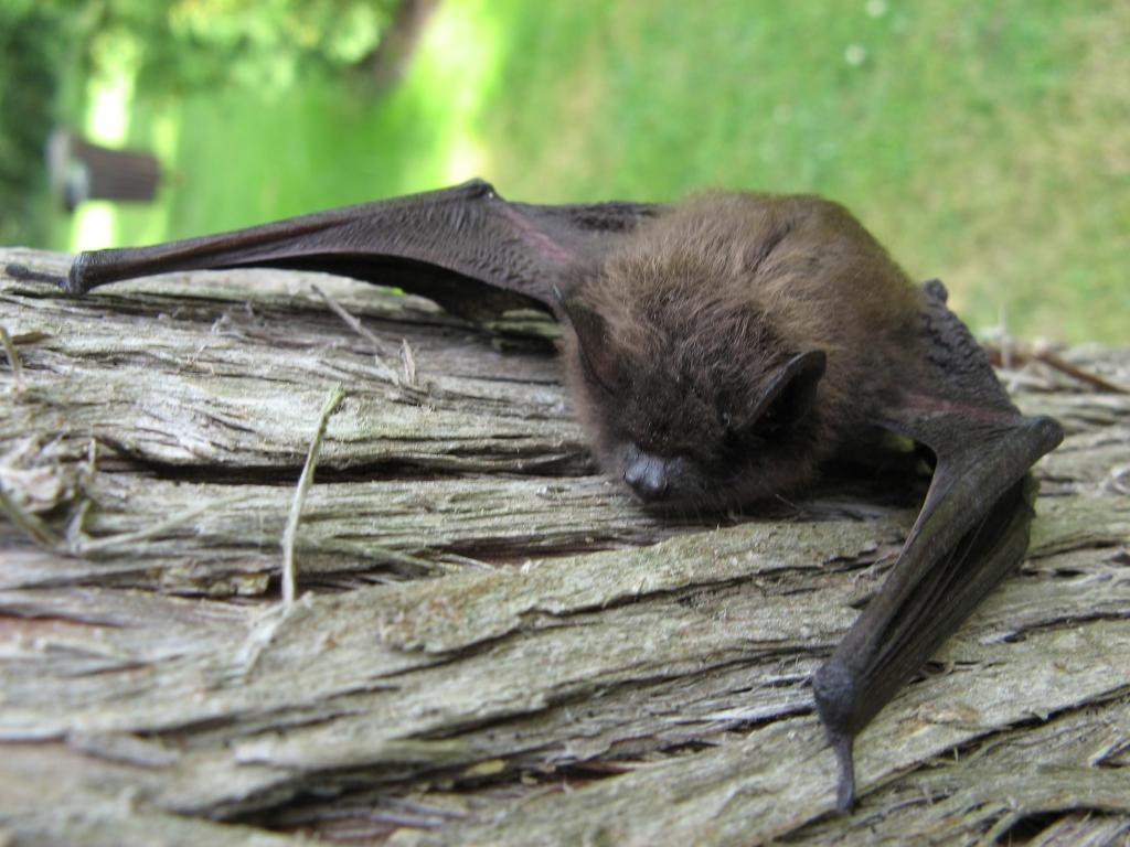 Adirondack Bat