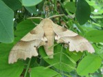 Moth - Barbatona