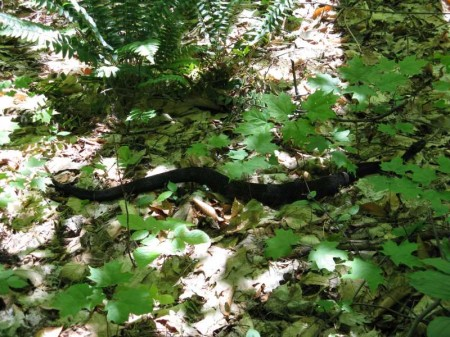 That\'s a Rattlesnake!